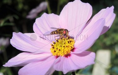 Syrphid fly on a cosmos flower in a garden