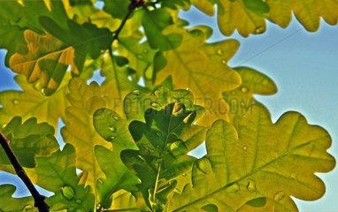 Rain drops on a oak leaves