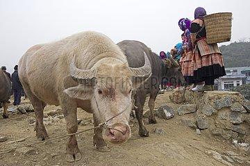 Cattle market of Bac Ha - Vietnam