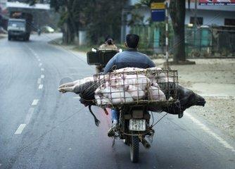 Transport of Pigs motorcycle - Hanoi Vietnam
