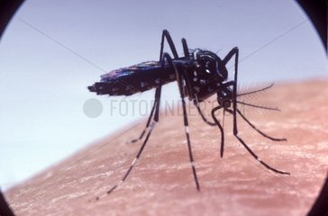Mosquito Aedes female pricking the human skin