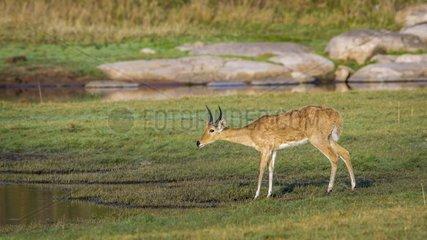 Bohor reedbuck in Kruger National park  South Africa