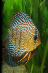 (Symphysodon aequifasciatus) Discus fry feeding on mucus secreted by their parents. In illustration male discus with his young.