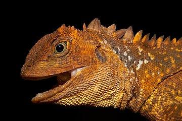 Portrait of Diving Lizard or Mophead Iguana (Uranoscodon superciliosus) - Montagne de fer - French Guiana