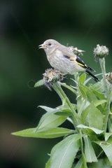 Goldfinch  (Carduelis carduelis)  young bird on cornflower in garden  Warwickshire