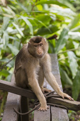 Captive Pig-tailed Macaque - Borneo Indonesia