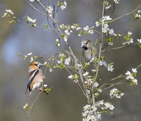 Hawfinch (Coccothraustes coccothraustes) couple on shrub in bloom  Regional Natural Park of the Northern Vosges  France