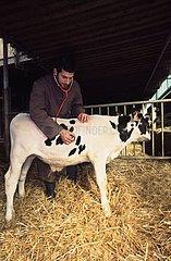 Auscultation d'un veau Prim'Holstein au stéthoscope