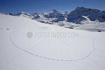 Traces of Ptarmigan in the snow - Switzerland Alps