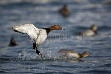 Common Pochard landing on water - Lake Geneva Switzerland
