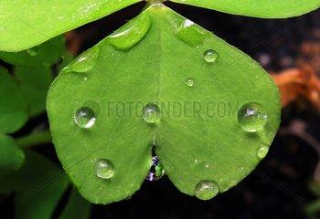 Rain drops on a clover leaf