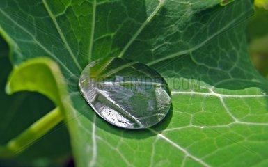 Rain drop on a clover leaf