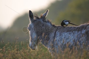 Magpie on the back of a donkey - Marais Breton France