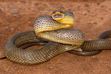 Common Bird Snake threatening with mouth open Guyana