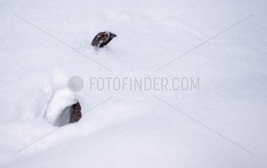 Hazel grouse going in snow Germany