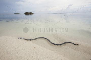 Banded sea krait on beach - Grogos Island Maluku Indonesia