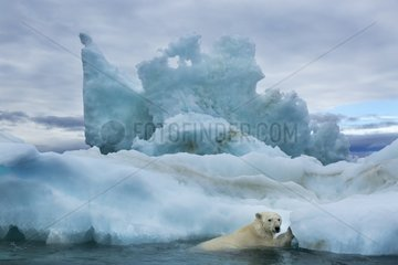 Polar Bear (Ursus maritimus) climbing onto melting iceberg near Harbour Islands  Repulse Bay  Nunavut Territory  Canada