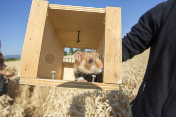 Hamsters reintroduction - Alsace France