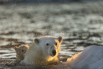 Polar Bear (Ursus maritimus) shakes off water from boat while swimming in sea ice near Harbour Islands  Repulse Bay  Nunavut Territory  Canada