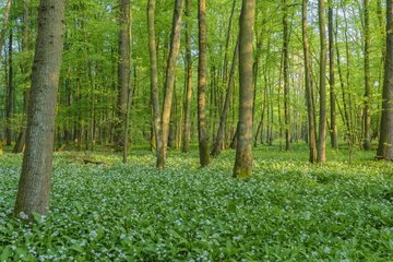 European Beech Forest (Fagus sylvatica) with Ramsons (Allium ursinum)  Hesse  Germany  Europe