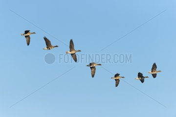 White-fronted Geese  Anser albifrons  Mecklenburg-Western Pomerania  Germany  Europe