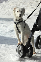 Leonberg harnessed puppy in snow - France