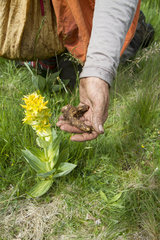 Root crop of Great Yellow Gentian - Auvergne France