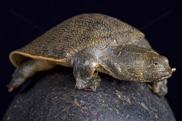 New Guinea giant softshell turtle (Pelochelys bibroni)  Papua New Guinea