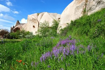 Turkey. Cappadocia. Uchisar. Flowers in the Pigeons Valley  named after the numerous troglodyte dovecots made on its fairychimneys.
