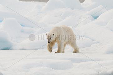 Polar bear male walking on ice - Northern Spitsbergen