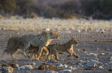 Lion (Panthera leo) - Females and cubs hurry away from a waterhole due to the arrival of a herd of elephants. In the evening. Etosha National Park  Namibia.