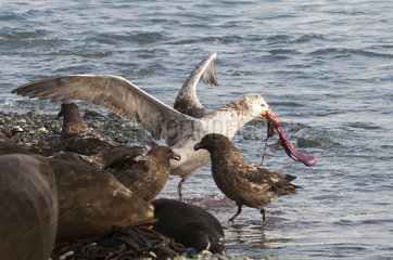 Northern giant petrel with a piece of placenta - South Georgia