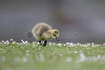 Canada goose  Branta canadensis  single gosling on grass  London