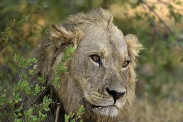 Portrait of dying Lion - Botswana Khwai