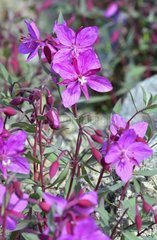 Denmark. Greenland. West coast. The Fireweed is the emblem of Greenland. it is blooming in july and august.