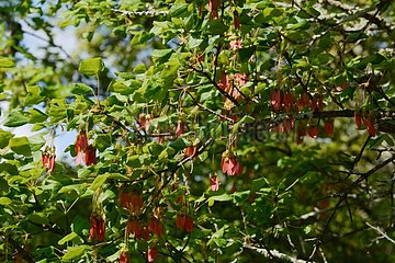 Montpellier Maple (Acer monspessulanum) seeds  Labeaume  Ardèche  France