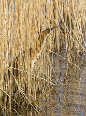 Bittern (Botaurus stellaris)  Bittern walking amongst reeds  England  Winter