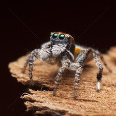 Male Peacock Spider on black background - Australia