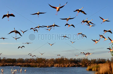 Rosy Greater Flamingos in flight - Camargue France