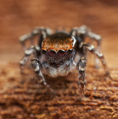 Male Peacock Jumping Spider - Australia
