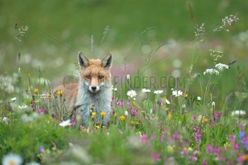 Red fox in a flowering meadow