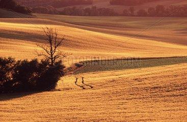 Champs de céréales ondulant en fin d'aprés-midi dans le Gers
