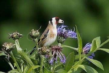 Goldfinch  (Carduelis carduelis)  bird on cornflower in garden  Warwickshire