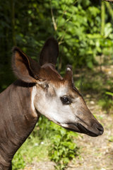 Portrait of Okapi