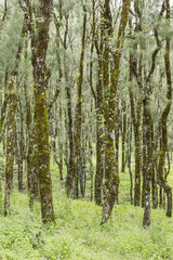 Pine forest - Gunung Mutis NR Timor Indonesia