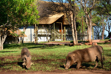 Warthogs eating grass - Victoria Falls Zimbabwe