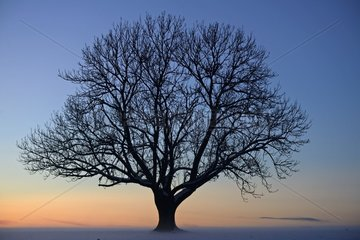 Isolated majestic tree in a snowy field at sunset and mist - Montandon - Haut Doubs - France