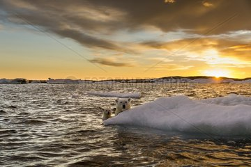 Polar Bear and young cub (Ursus maritimus) cling to melting sea ice at sunset near Harbour Islands  Repulse Bay  Nunavut Territory  Canada