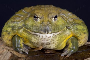 African bullfrog (Pyxicephalus adspersus)  South Africa