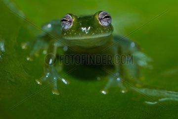 Taylor's glass Frog (Hyalinobatrachium taylori  ex Centrolenella taylori) - Montagne de fer - French Guiana